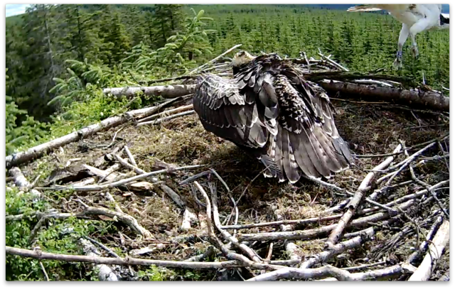 A blurry ring as the Scottish  intruder flies near the nest (c) Forestry Commission England