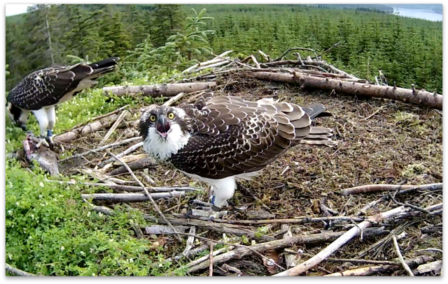 VY tells YA in the tree behind the nest life isn't fair! (c) Forestry Commission England