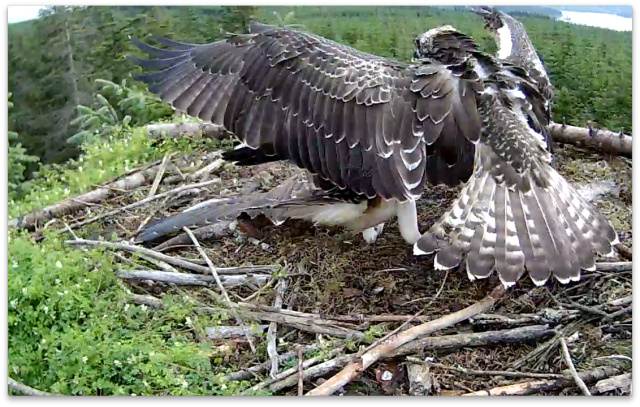 VY pushes VP away initially, but a few seconds later lets her have the fish (c) Forestry COmmission England