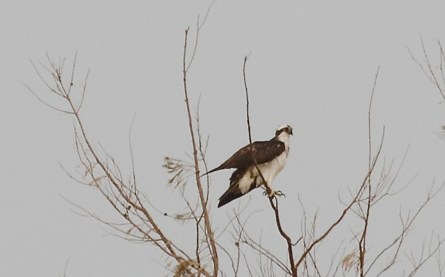 Osprey on a tree UV could have used (c) Joanna Dailey