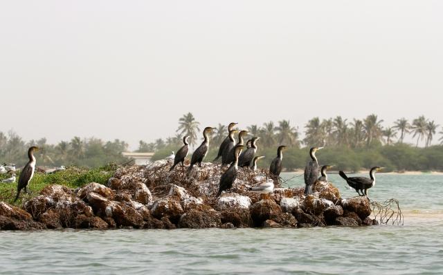 Great Cormorants enjoy the view (c) Joanna Dailey
