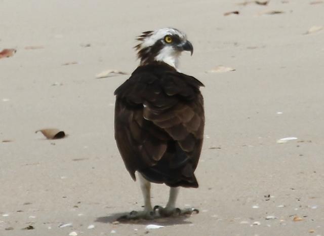 A tolerant Osprey (c) Joanna Dailey