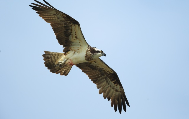 Osprey with metal ring (c) Vic Paine