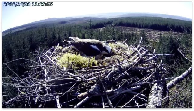 There are at least two eggs in there! (c) Foresty Commission England
