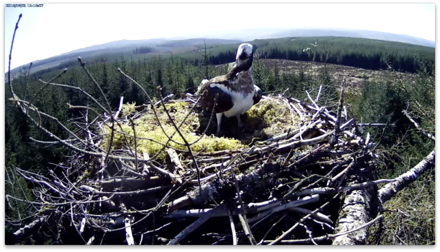 The male is called into action (c) Forestry Commission England