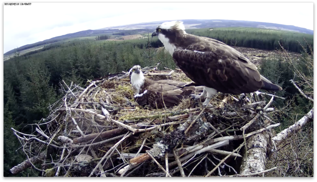The male pays a visit but the female stays on the egg (c) Forestry Commission England