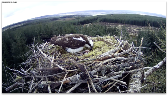 A good view of the clutch (c) Forestry Commission England