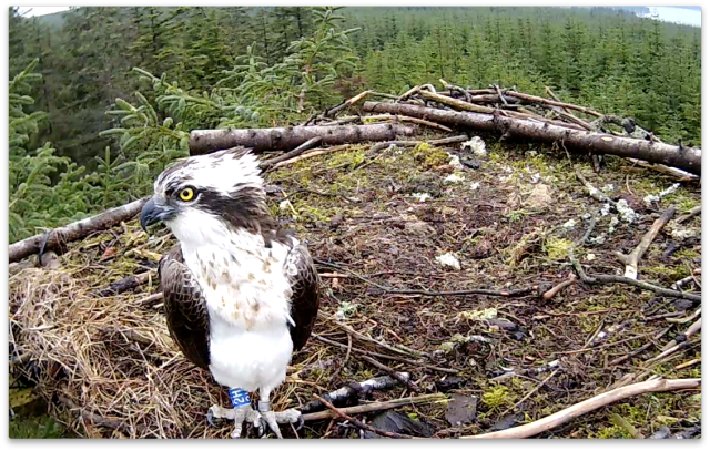 Blue 2H poses for the nestcam (c) Forestry Commission England