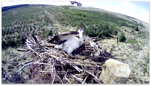 Blue 39 hovers over Nest 2 (c) Forestry Commission England
