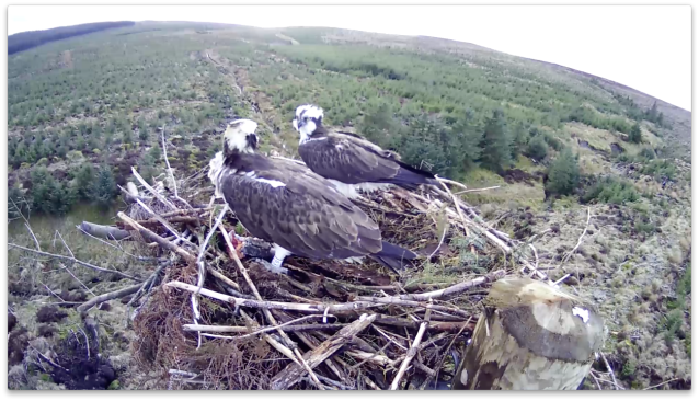 Eying each other up (c) Forestry Commission England