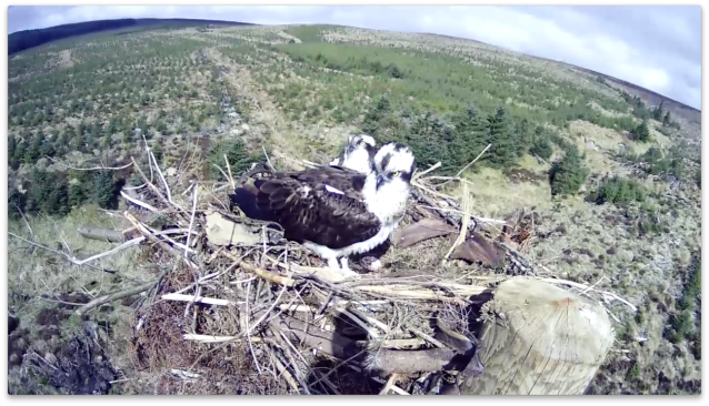 37 has a few moments with White EB and the egg, whilst keeping a watchful eye (c) Forestry Commission England