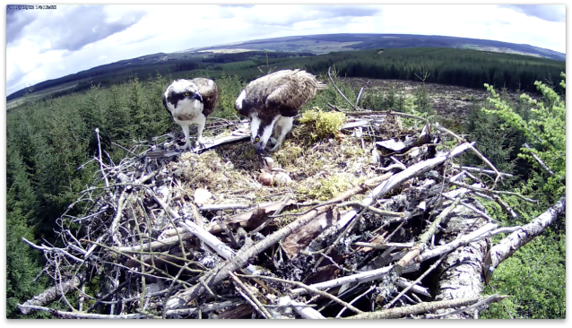 14.13 a mouthful of fish for chick 1 (c) Forestry Commission England
