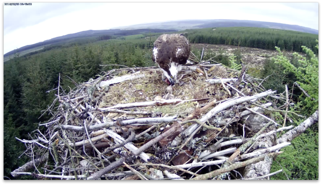 06.43 the female feeds the chick (c) Forestry Commission England