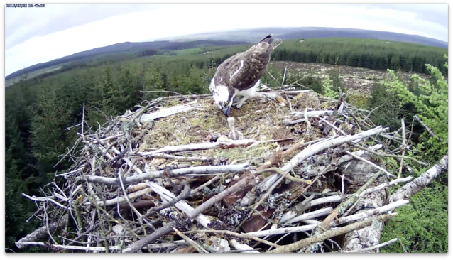 The male has a go too (c) Forestry Commission England