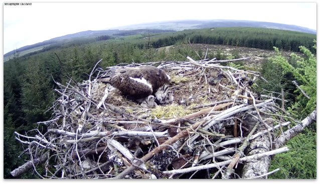 Chicks on guard! (c) Forestry Commission England