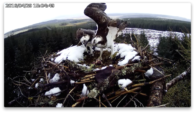 The female prepares to leave the eggs (c) Forestry Commission England
