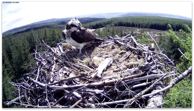 The female looks closely at the egg (c) Forestry Commission England
