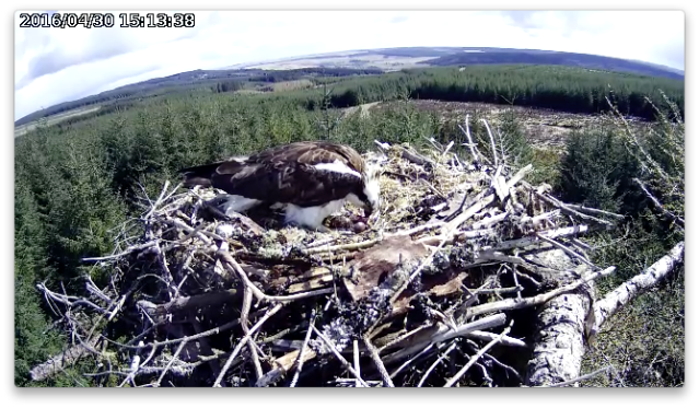 The female turns the eggs (c) Forestry Commission England
