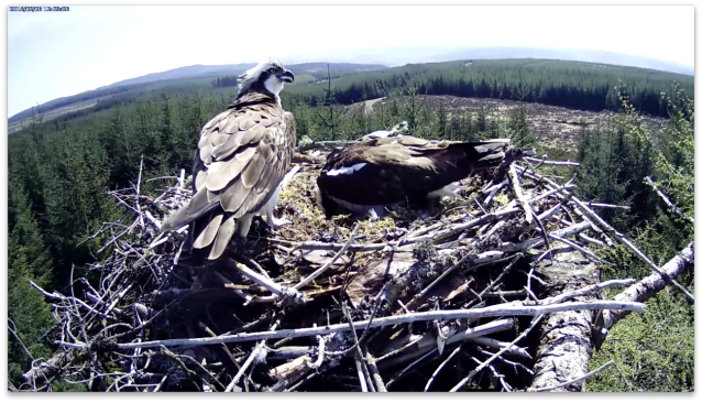 The female tells the male how to turn the eggs! (c) Forestry Commission England