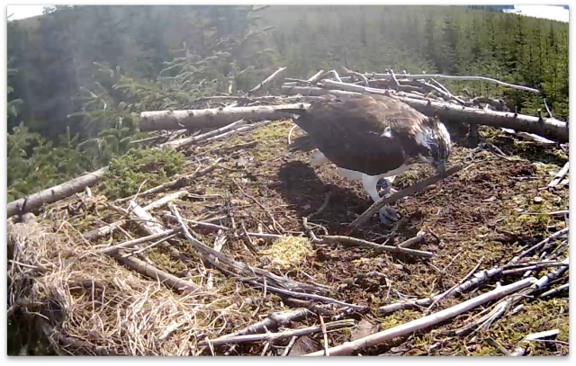 Blue YU tidying the nest (c) Forestry Commission England