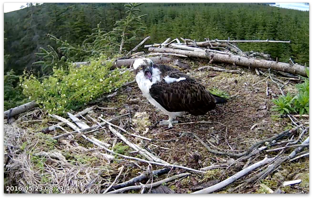 An unhappy YA (c) Forestry Commission England
