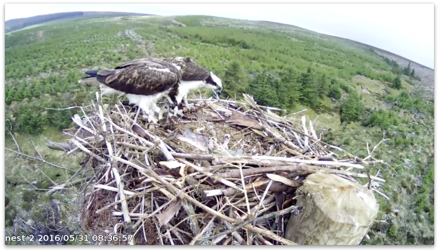 08.36 first sight of chick 2 (c) Forestry Commission England