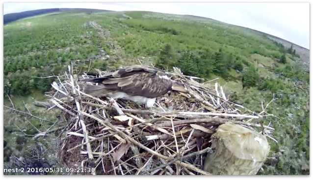 Chick 2 uses the shell as a resting place (c) Forestry Commission England