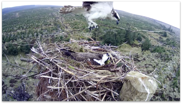 White EB brings a very long twig to adorn the nest (c) Forestry Commission England