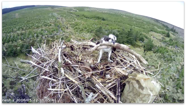 "37 goes for the 'biggest bark strip"" record (c) Forestry Commission England"