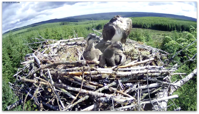 14 June: two developing ospreys (c) Forestry Commission England
