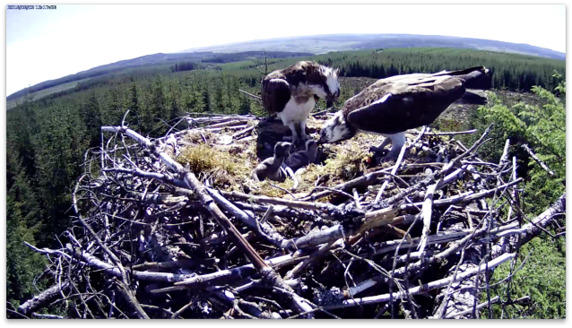 Chick 2 is fed by dad (c) Forestry Commission England