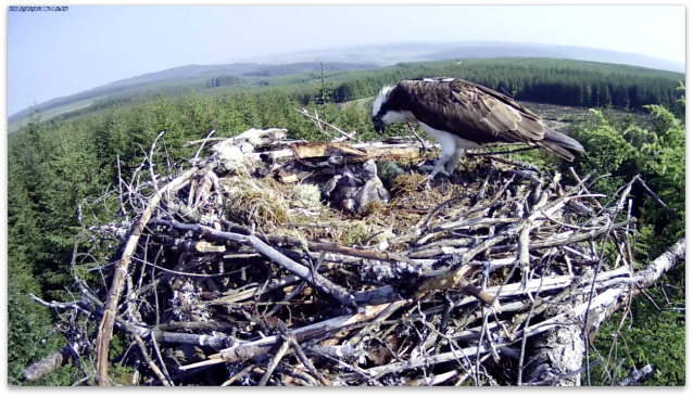 4 June: chick 1 is full, chick 2 still has room for more (c) Forestry Commission England