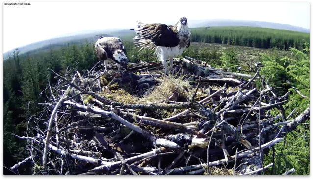 7 June: the male has fed the chicks during the female's bathtime (c) Forestry Commission England
