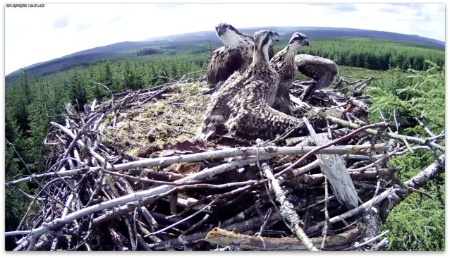 chick 1 imposes authority (c) Forestry Commission England