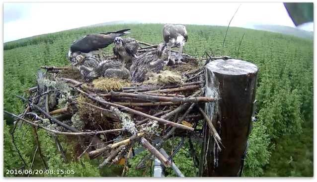 Two fish on the nest, two feeds (c) Forestry Commission England