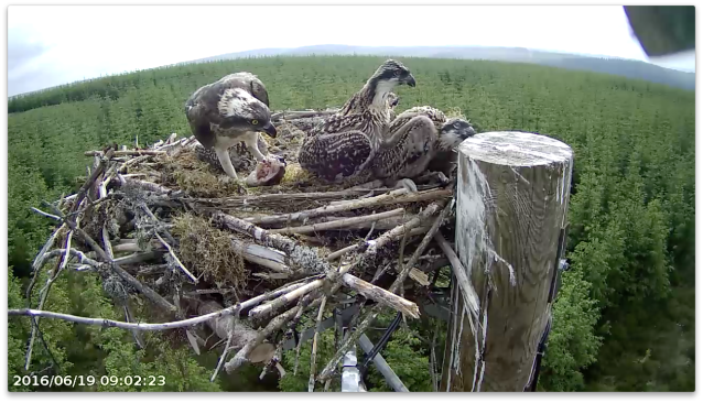 Chick 1 pushes chick 4 right onto the pole edge (c) Forestry Commission England