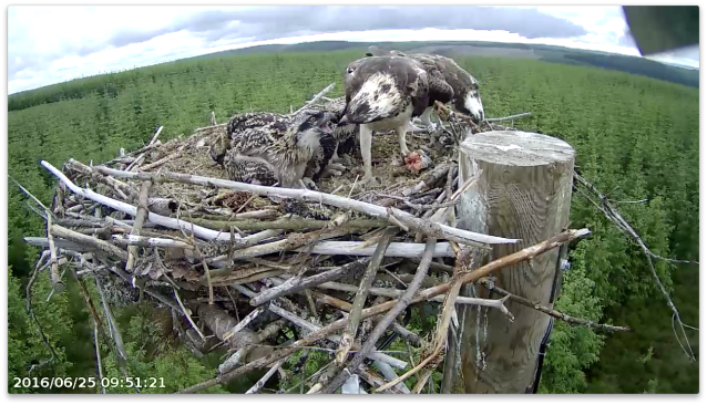 Unusually chick 4 gets the first bite at the early meal (c) Forestry Commission England