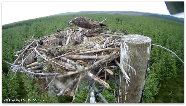 First observed feed of the day, only chick 4 attends (c) Forestry Commission England