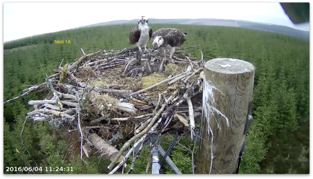 One chick is feaaling full! (c) Forestry Commission England