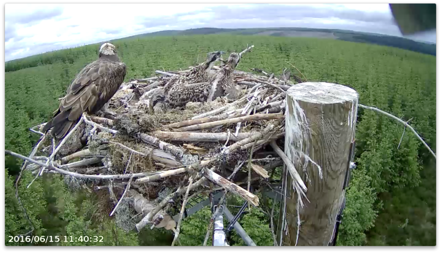 Chick 1 about to bash chick 4 (c) Forestry Commission England