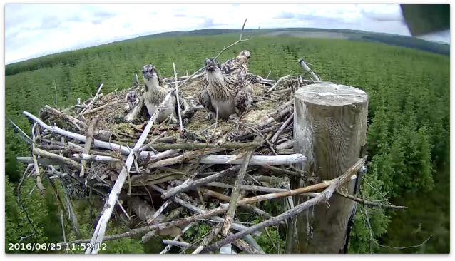 chick 4 tackles that annoying twig (c) Forestry Commission England