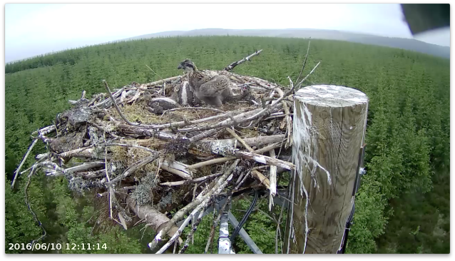 A milestone for chick 1 (c) Forestry Commission England