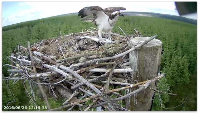YA delivers the trout direct to the chicks! (c) Forestry Commission England