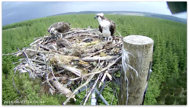 Chick 1 is last to eat but didn't have an empty crop! (c) Forestry Commission England