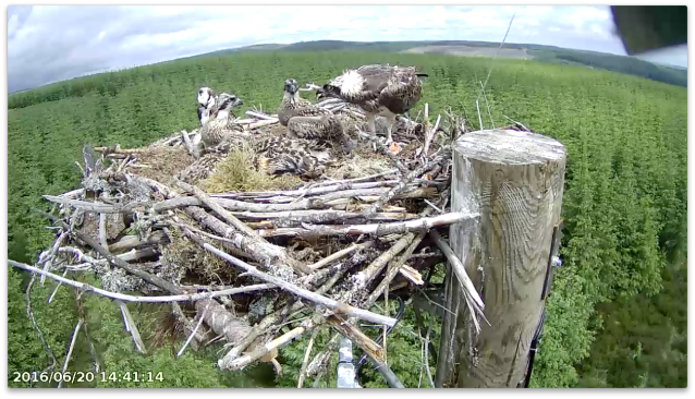 Chick 4 feels a bit full (c) Forestry Commission England