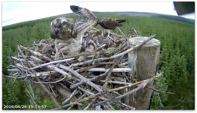 chick 1 shows off an impressive wing as YA feeds a sibling (c) Forestry Commission England