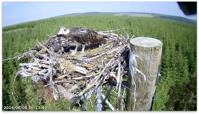 Mrs YA is still feeding after 47 minutes (c) Forestry Commission England