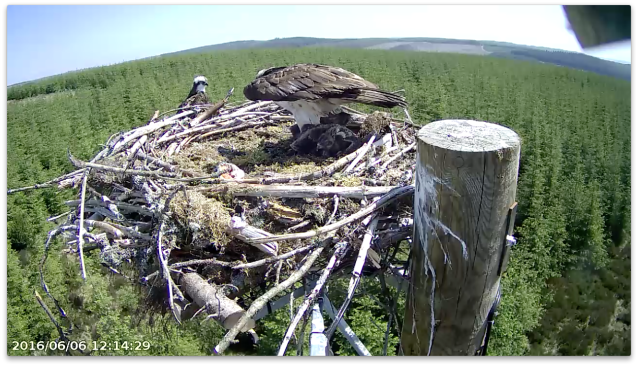 Mrs YA spreads her wings to cover all four chicks (c) Forestry Commission England