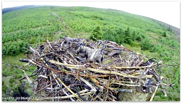 chick 3 tries to look tall (c) Forestry Commission England