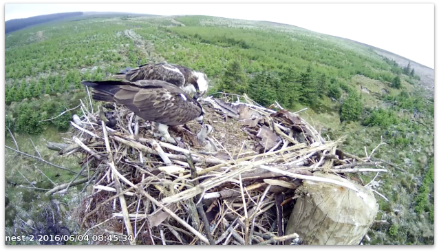 37 just has time to provide a bite to chick 1 before EB intervenes (c) Forestry Commission England